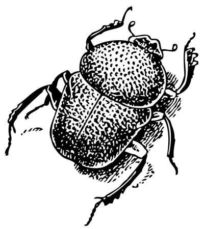 Beetle Gymnopleurus Vector