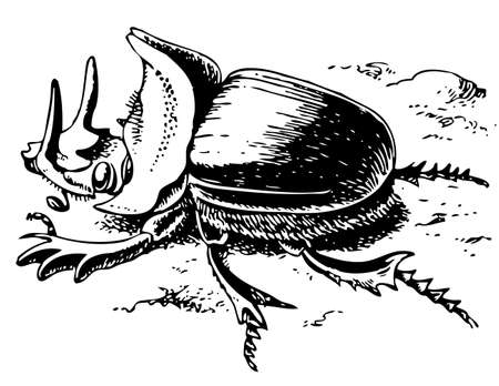 dung: Scarabaeus Isis Illustration