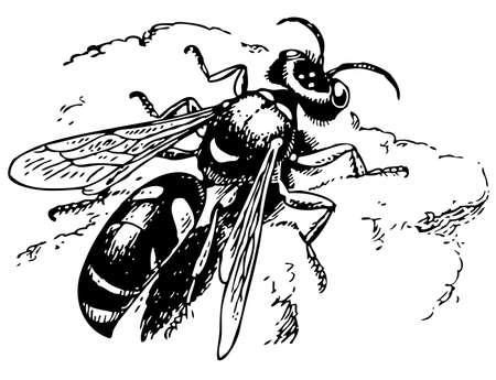 digger: Spiny digger wasp Illustration