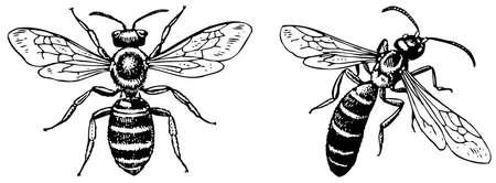 pollination: Sweat bee Halictus Illustration