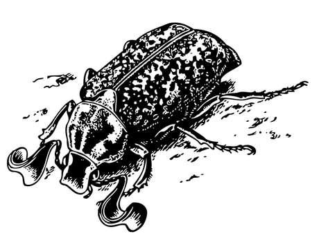 weevils: Polyphylla fullo