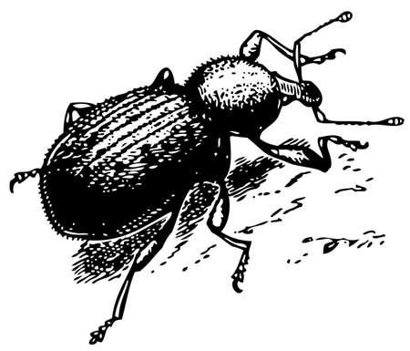 curculionidae: Beetle Curculionidae Illustration