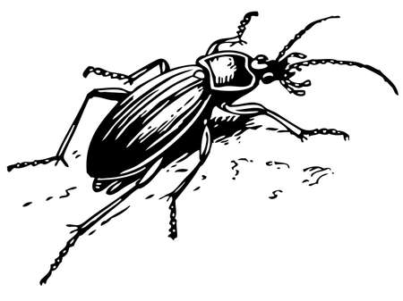 Ground beetle Vector