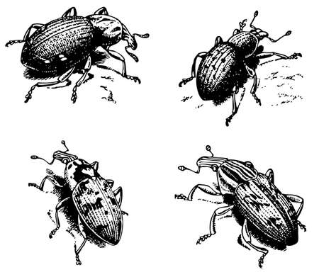weevil: Weevil Cleonus Illustration