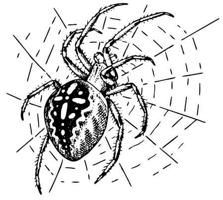 Spider Araneus Vector
