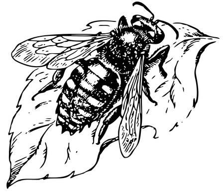 beekeeper: Anthidium manicatum