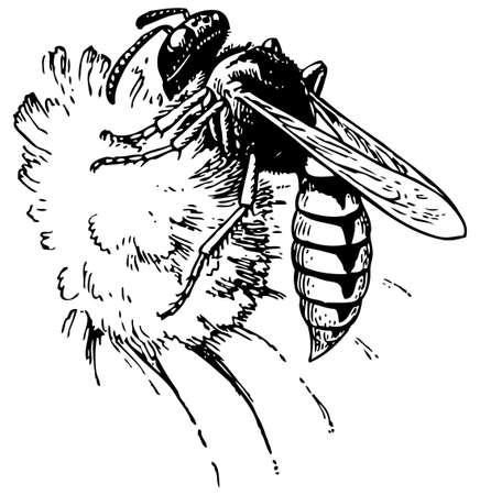 avispa: Europea beewolf
