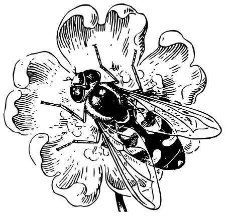 entomology: Hover Fly Syrphidae Illustration