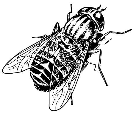 horse fly: Horse fly Tabanus bovinus
