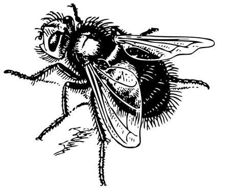 hum: Fly echinomyia