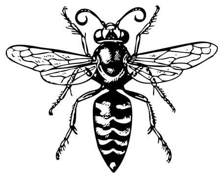 wasp: Avispa bembex Vectores