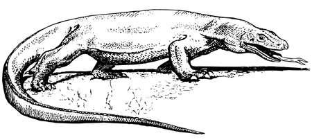 Komodo dragon Vector