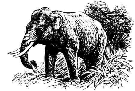 animal nose: Elefante indio Vectores