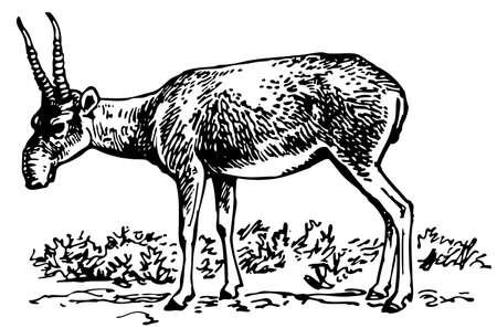 of antelope: Saiga antelope Illustration