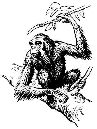 Orangutan Stock Vector - 10402881