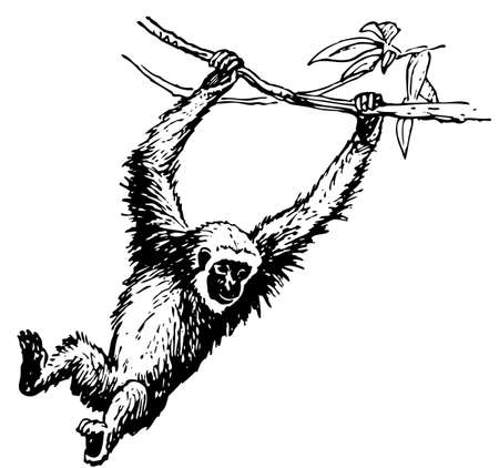 zoology: Hylobates Illustration