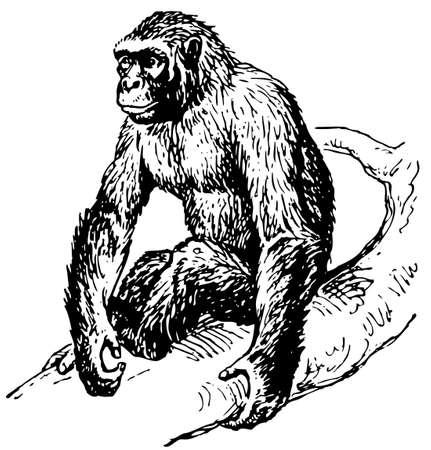 monkey face: Gorilla