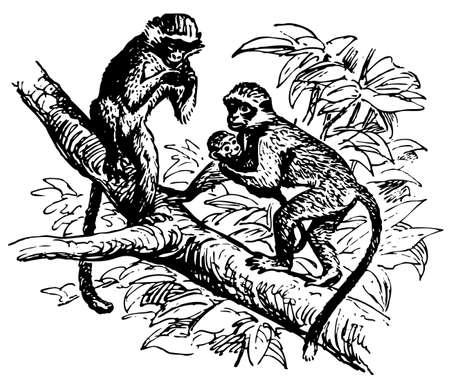 gaze: Guenon Illustration