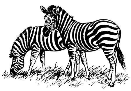Zebras Stock Vector - 10402556