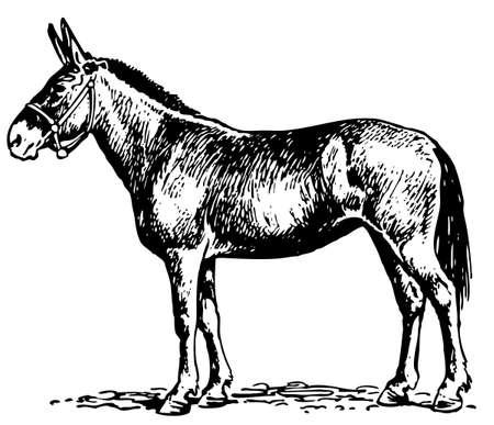 burro: Mula Vectores