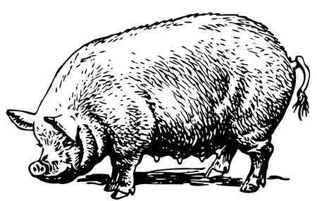 siembra: Cerdo Vectores