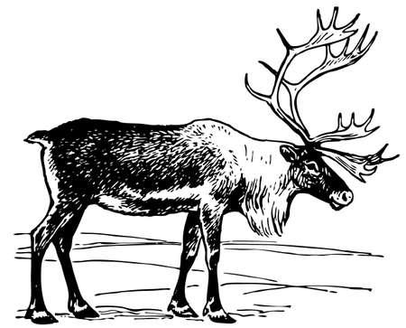 antlers: Reindeer