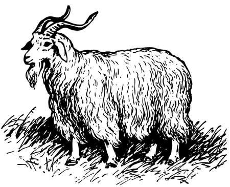 Angora goat Stock Vector - 10402728