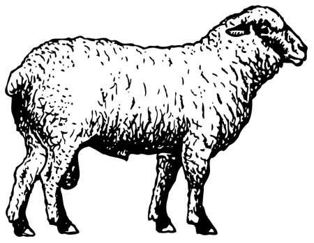 Shropshire schapen Vector Illustratie