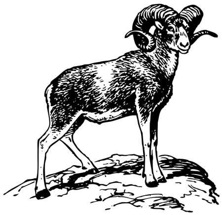 Argali mountain sheep Stock Vector - 10402696
