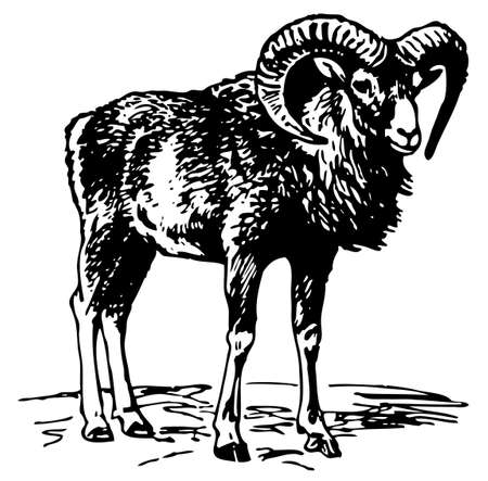 mountain goats: Mouflon Illustration