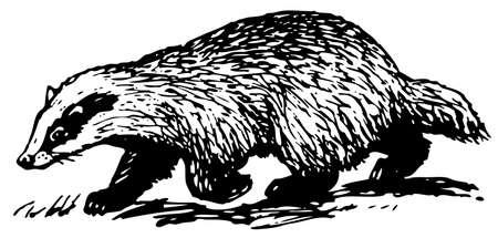 badger: European badger