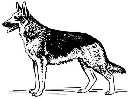 white shepherd dog: Cane da pastore tedesco