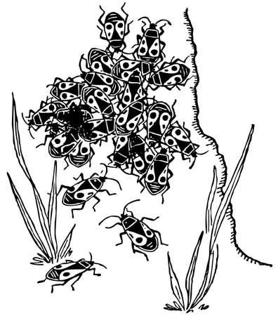 insecta: Red bug pyrrhocoridae
