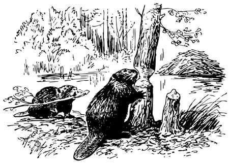 castoro: Eurasiatica castoro Vettoriali