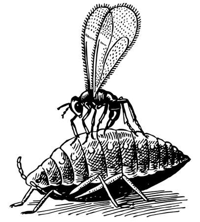 lice: Aphid