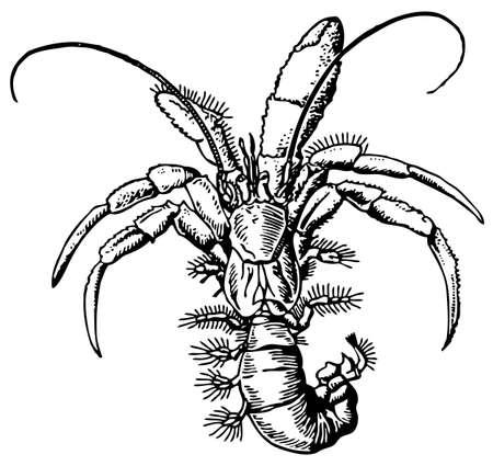 hermit: Hermit crab