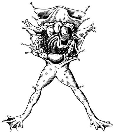 autopsy: Frog autopsy