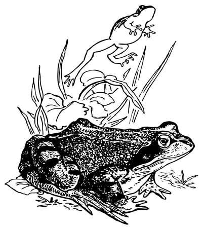 rana: Common frog Illustration