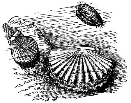 scallops: Scallop Illustration