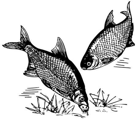 common carp: Common bream