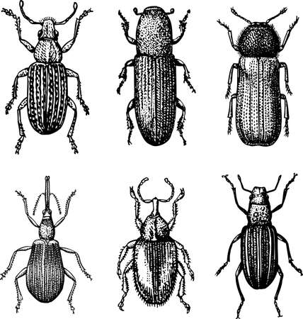insecta: Beetles