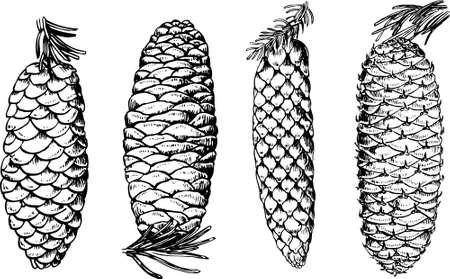 fir cone: Algunas pi�as aislados en blanco Vectores