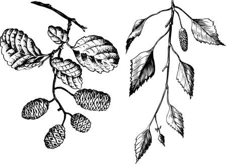 betula pendula: Branch of Betula pendula isolated on white
