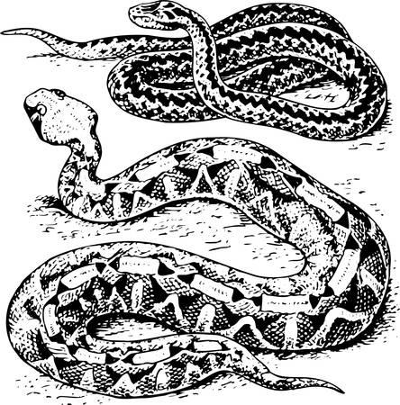 Snake Stock Vector - 10557906