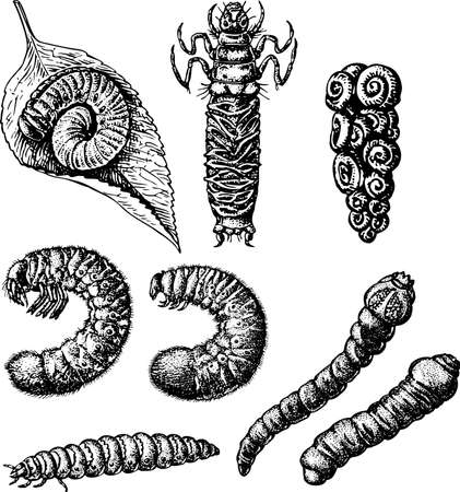poisonous insect: Worams isolated on white Illustration