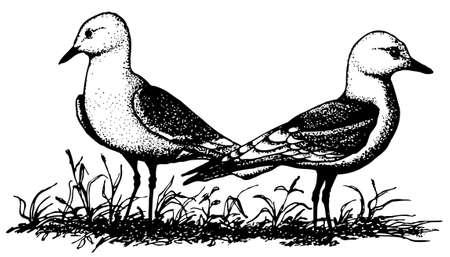 legged: Two birds Black-legged Kittiwake Illustration