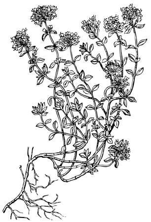 tomillo: Planta de tomillo Breckland (serpol) aisladas sobre fondo blanco