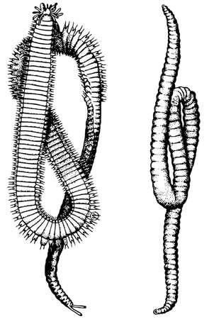 gusanos: Anélidos aisladas sobre fondo blanco