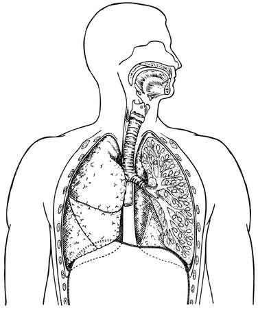 holten: Human ademhalingswegen Stock Illustratie
