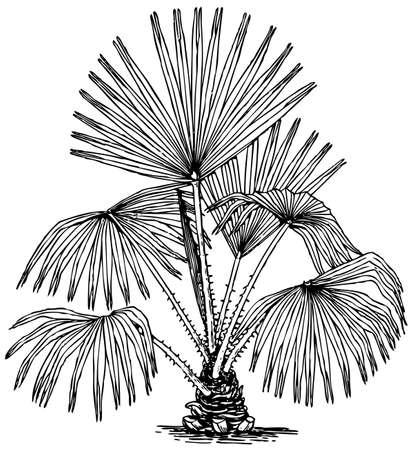 marsh plant: Plant Livistona australis (Cabbage-tree Palm) isolated on white background